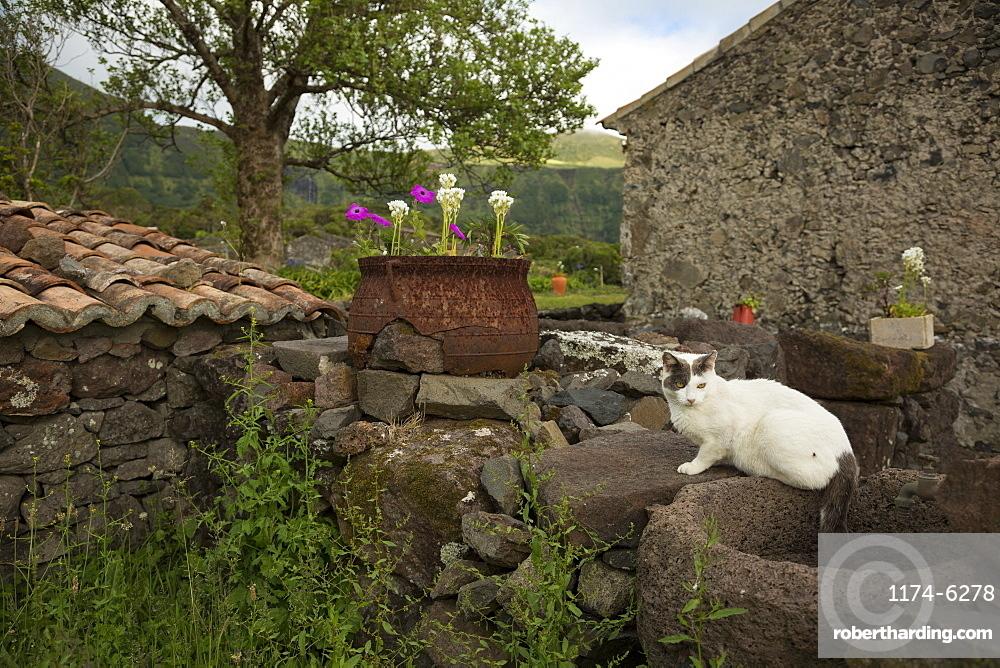 Cat sitting on stone wall in backyard, Cuada Village, Flores, Portugal