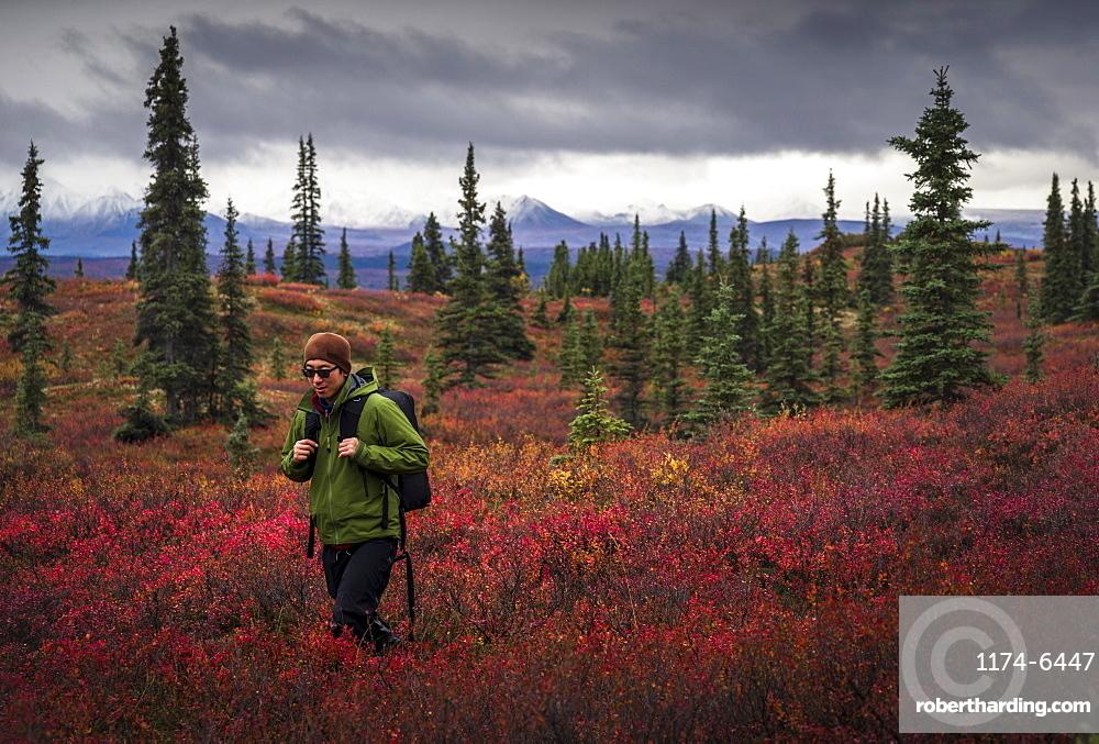 Asian man hiking near trees in landscape, Denali, Alaska, USA