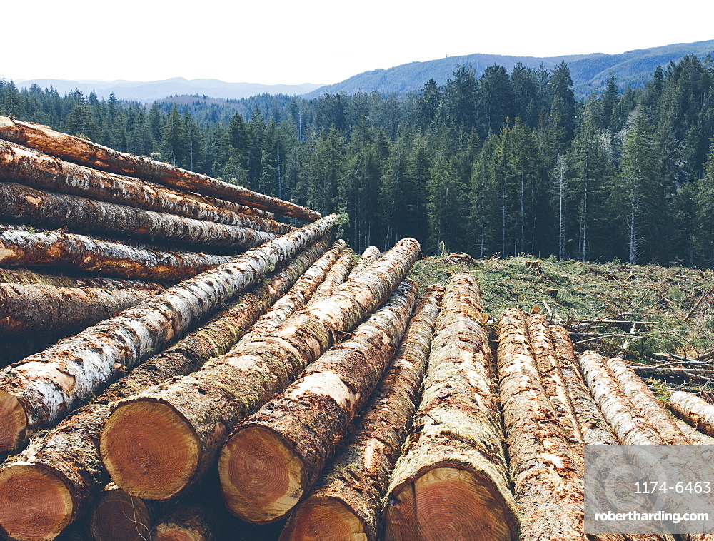 Stacked logs, freshly logged spruce and fir in the Pacific Northwest, forest in distance, Pacific County, Washington, United States