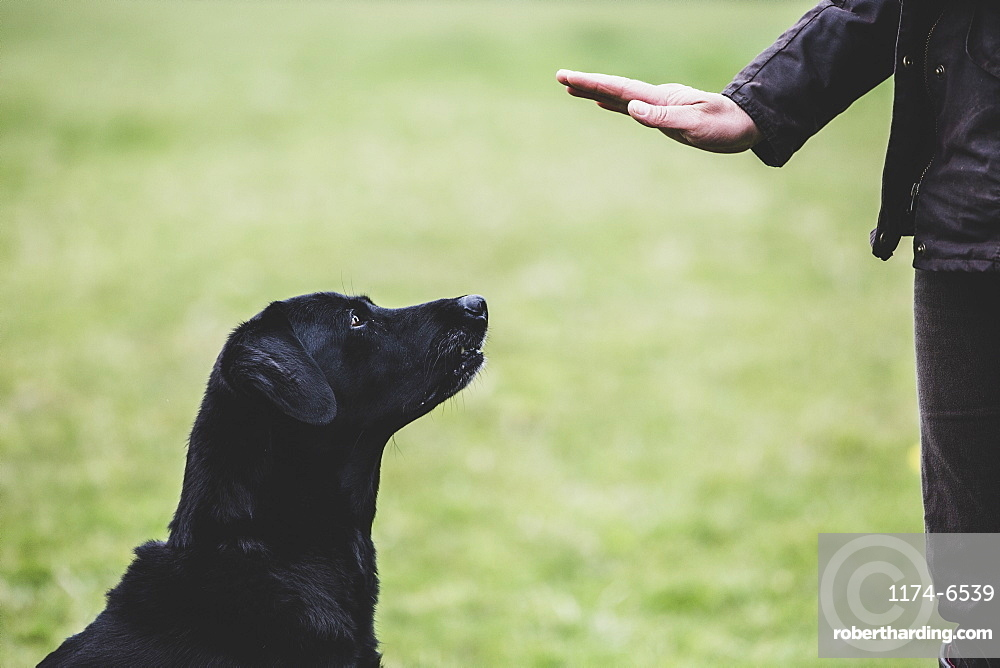 A dog trainer giving a hand command to Black Labrador dog, Oxfordshire, England
