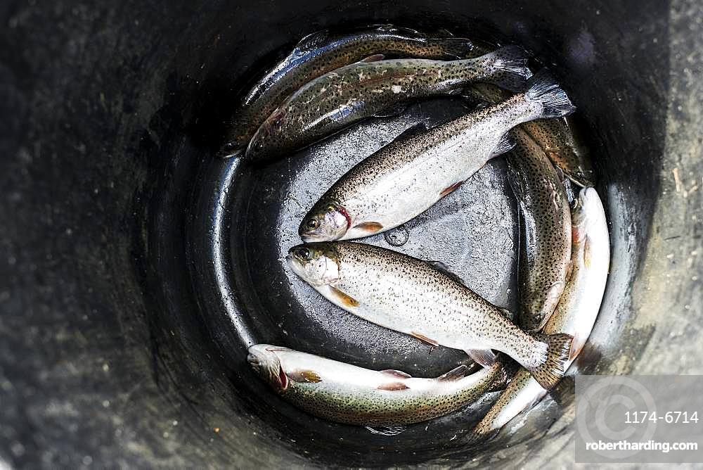 High angle close up of bucket with freshly caught trout at a Trout Farm