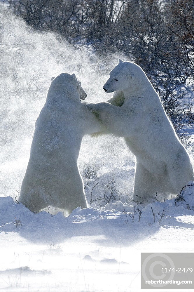 Two polar bears standing upright on their hind legs wrestling each other, Nunavut, Canada