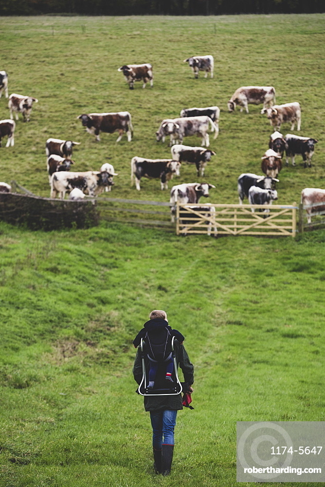 High angle view of man carrying child on his back walking towards a pasture with herd of English Longhorn cows, Oxfordshire, England
