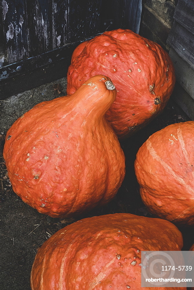 High angle close up of freshly harvested orange Hubbard pumpkins, Oxfordshire, England