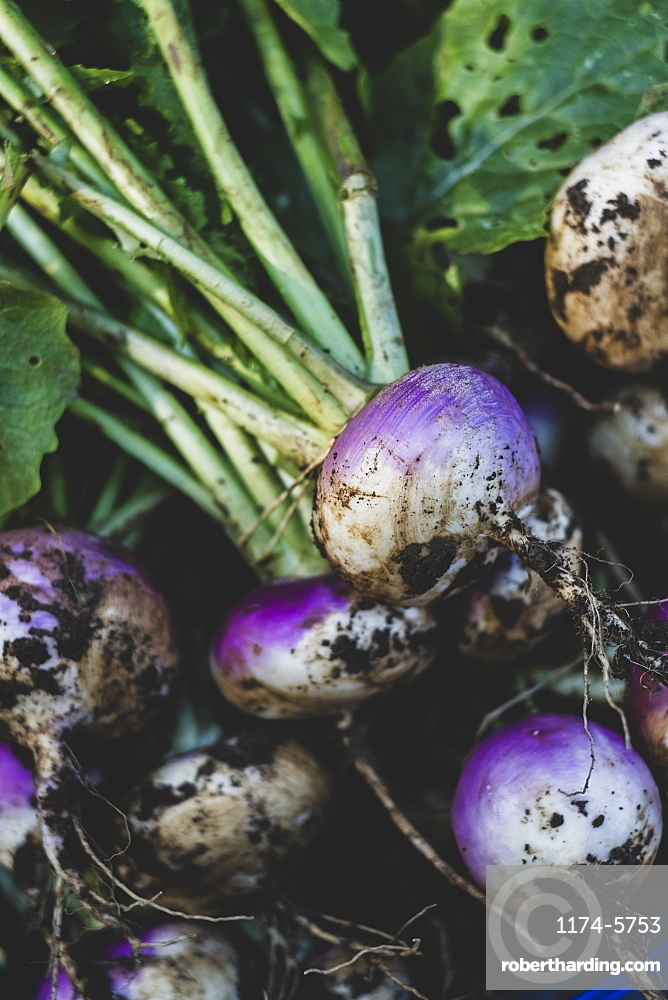 High angle close up of bunch of freshly harvested turnips, Oxfordshire, England