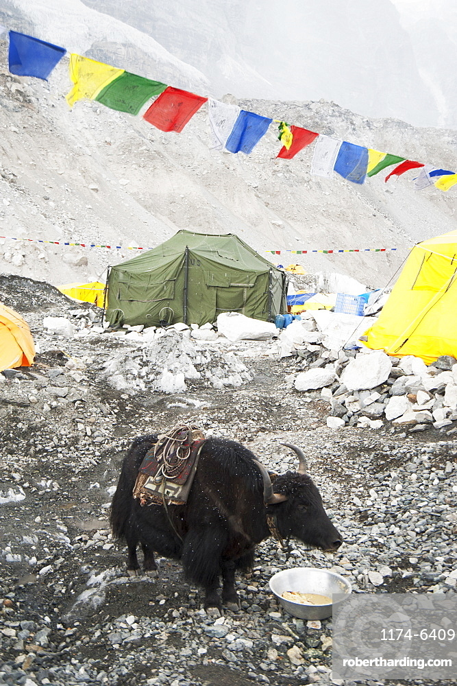 Yak eating from bowl at base camp, Everest, Khumbu region, Nepal, Everest, Khumbu region, Nepal
