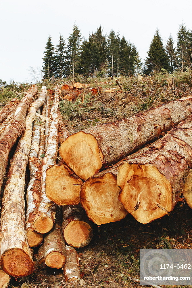 Stacked logs, freshly logged spruce, hemlock and fir trees, Pacific County, Washington, United States