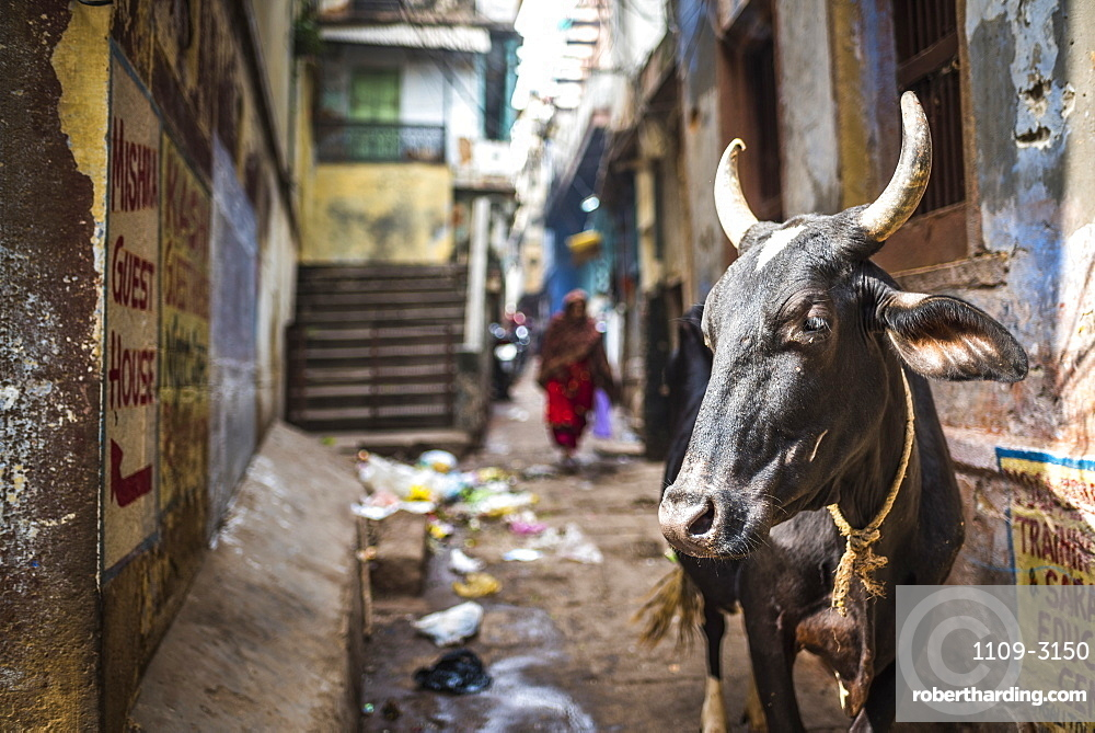 Cow in Varanasi, Uttar Pradesh, India, Asia