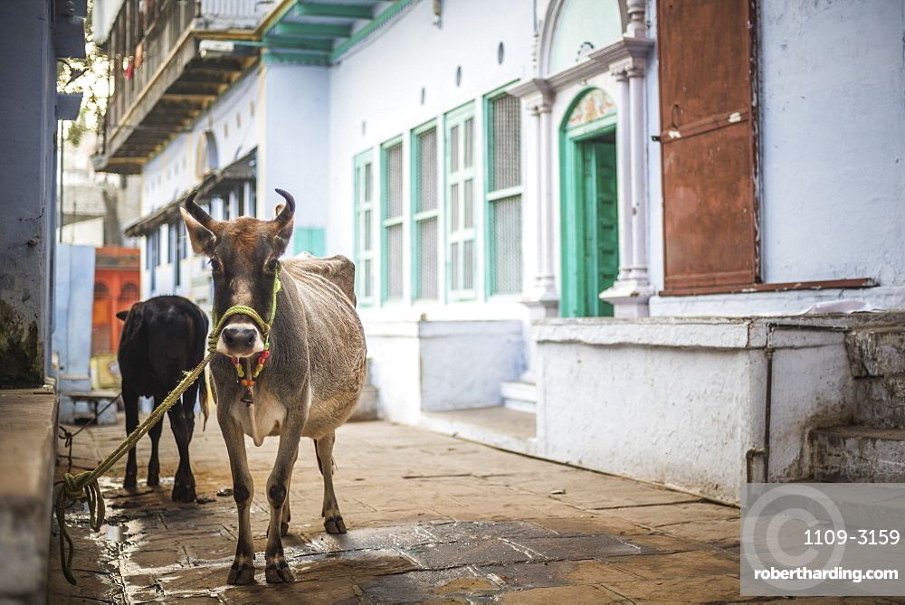 Cow on the streets of Varanasi, Uttar Pradesh, India