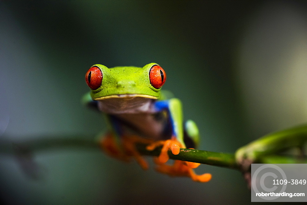 Red-eyed tree frog (Agalychnis callidryas), Sarapiqui, Heredia Province, Costa Rica, Central America