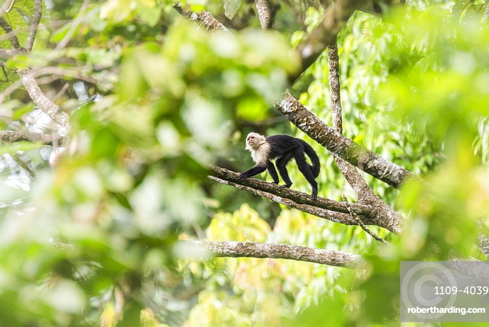 White-headed capuchin (Cebus imitator), Arenal Volcano National Park, near La Fortuna, Alajuela Province, Costa Rica
