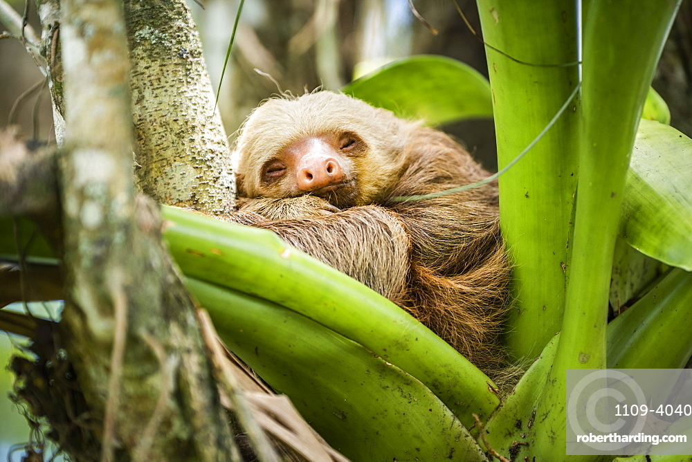Hoffmann's two-toed sloth (Choloepus hoffmanni), La Fortuna, Arenal National Park, Alajuela Province, Costa Rica