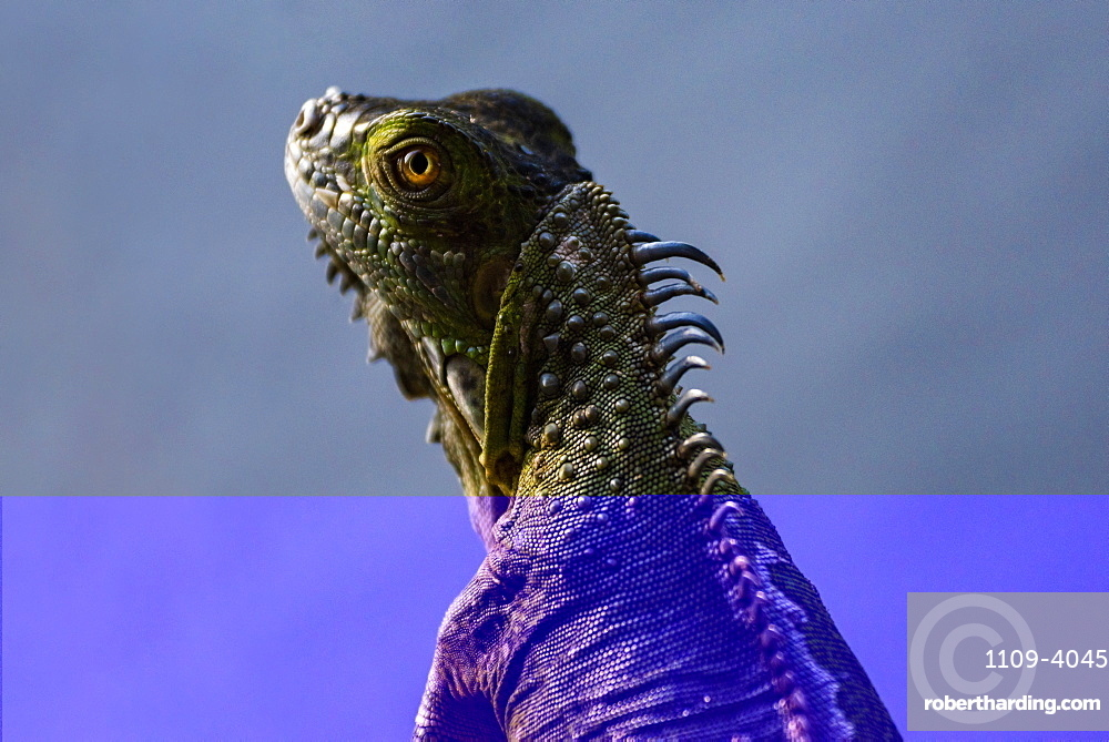 Green Iguana (Iguana Iguana), Boca Tapada, Alajuela Province, Costa Rica