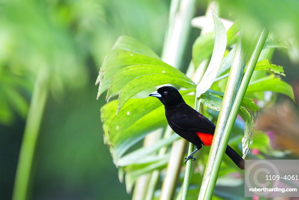 Scarlet-rumped Tanager (Ramphocelus passerinii), Boca Tapada, Alajuela Province, Costa Rica