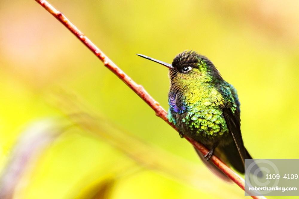 Fiery-throated Hummingbird (Panterpe insignis), San Gerardo de Dota, San Jose Province, Costa Rica