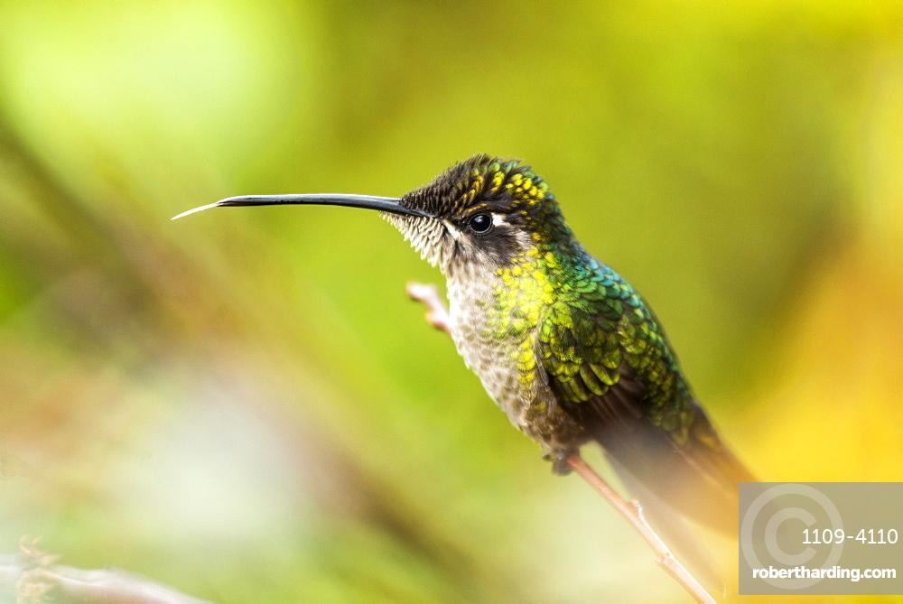Magnificent Hummingbird (Eugenes fulgens aka Refulgent Hummingbird), San Gerardo de Dota, San Jose Province, Costa Rica