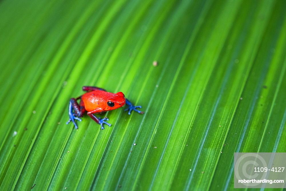 Strawberry Poison-dart Frog (Oophaga pumilio), Tortuguero National Park, Limon Province, Costa Rica