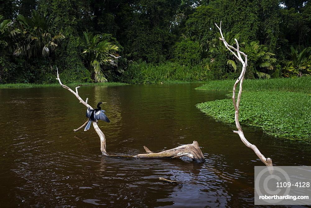Anhinga (Anhinga Anhinga) bird, Tortuguero National Park, Limon Province, Costa Rica