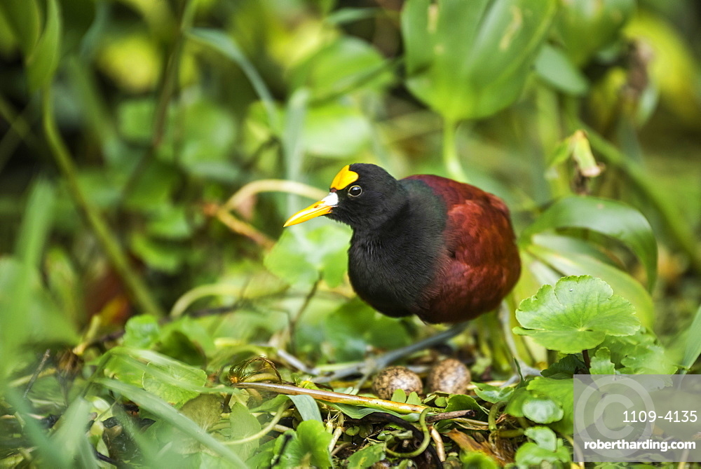 Northern Jacana (Jacana Spinosa), Tortuguero National Park, Limon Province, Costa Rica