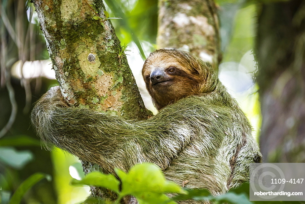 Brown-throated Three-toed Sloth (Bradypus variegatus), Tortuguero National Park, Limon Province, Costa Rica