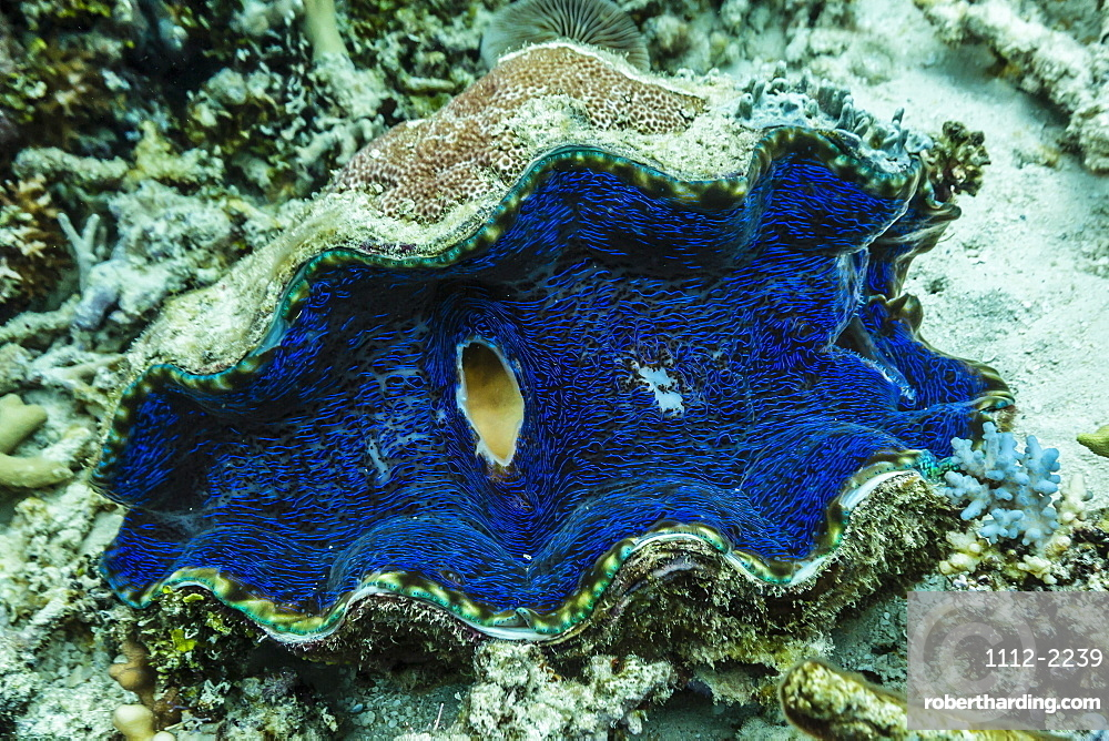 Underwater view of giant clam (Tridacna spp), Pixies Bommie, Great Barrier Reef, Queensland, Australia, Pacific
