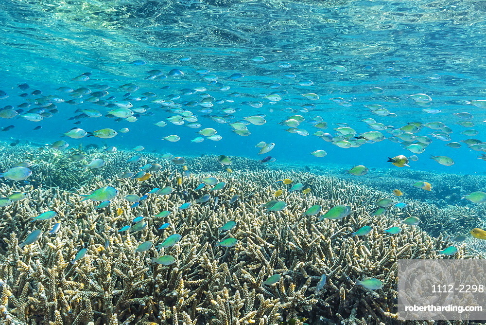 Hard and soft corals and reef fish underwater on Sebayur Island, Komodo Island National Park, Indonesia, Southeast Asia, Asia