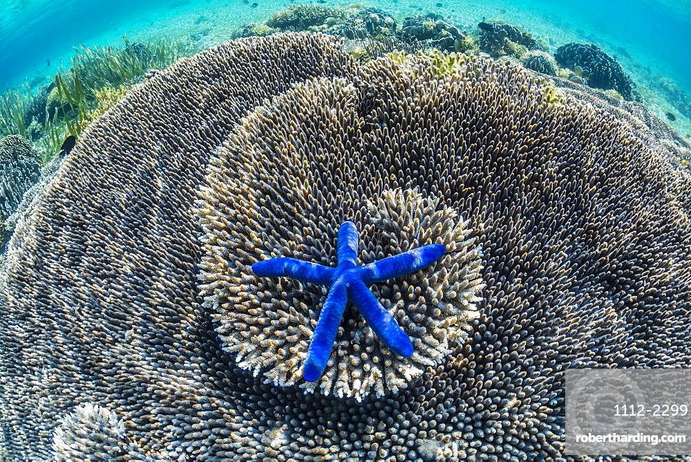 Hard and soft corals and sea star underwater on Sebayur Island, Komodo Island National Park, Indonesia, Southeast Asia, Asia