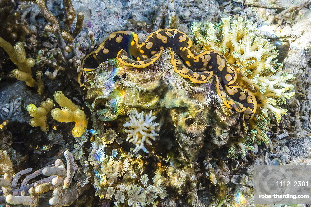 Hard and soft corals and giant clam underwater on Sebayur Island, Komodo Island National Park, Indonesia, Southeast Asia, Asia