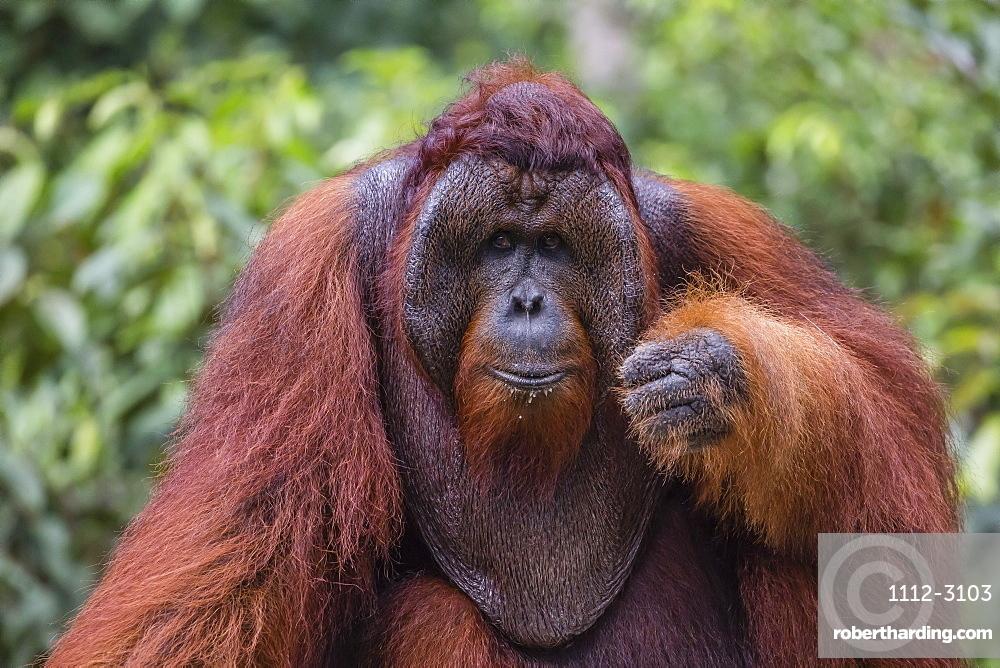 Reintroduced flanged male orangutan (Pongo pygmaeus), Camp Leakey, Tanjung Puting National Park, Borneo, Indonesia, Southeast Asia, Asia