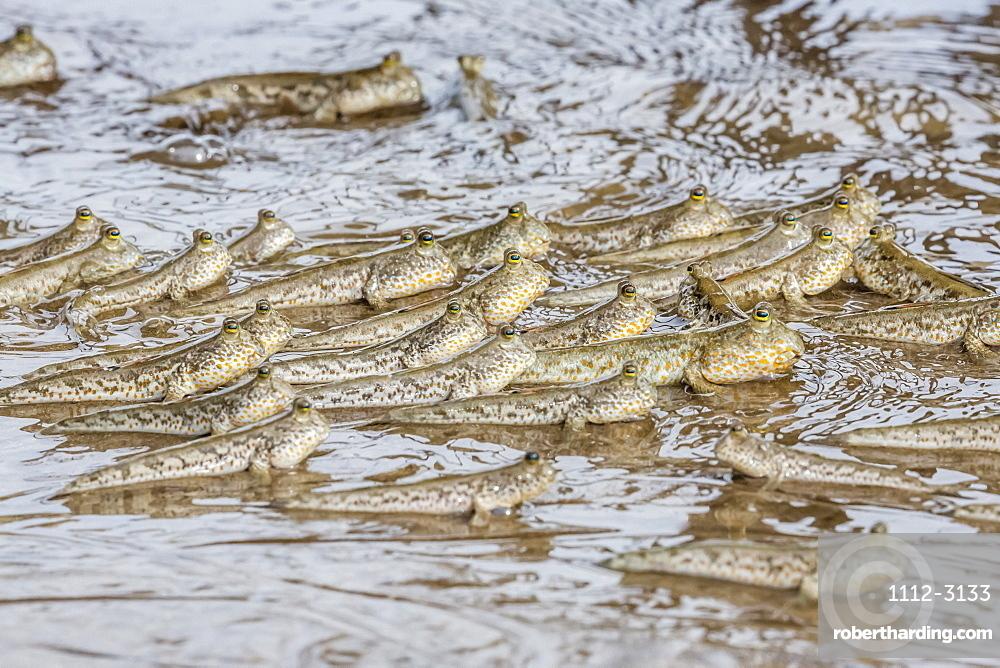 Adult mudskippers (Periophthalmus spp), gathering as the tide rises, Bako National Park, Sarawak, Island of Borneo, Malaysia, Southeast Asia, Asia