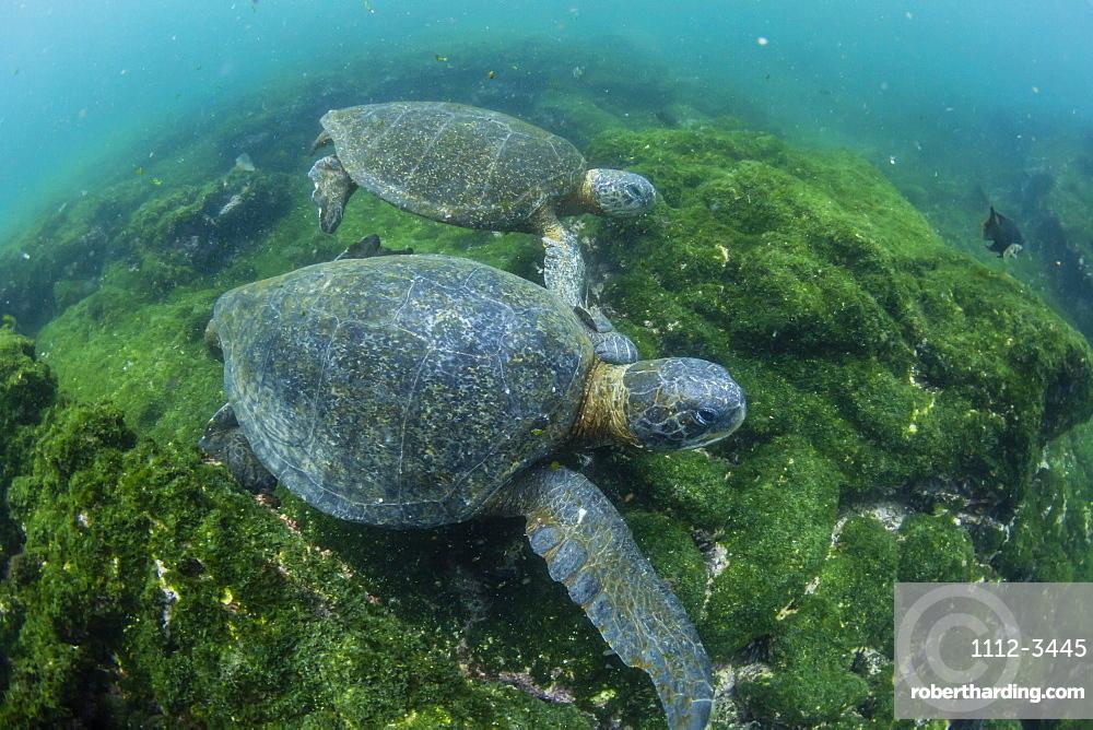 Pacific green sea turtles (Chelonia mydas) underwater on Fernandina Island, Galapagos, Ecuador, South America