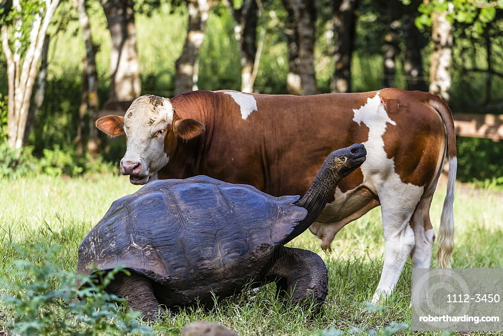 Wild Galapagos giant tortoise (Geochelone elephantopus) with cow on Santa Cruz Island, Galapagos, Ecuador, South America