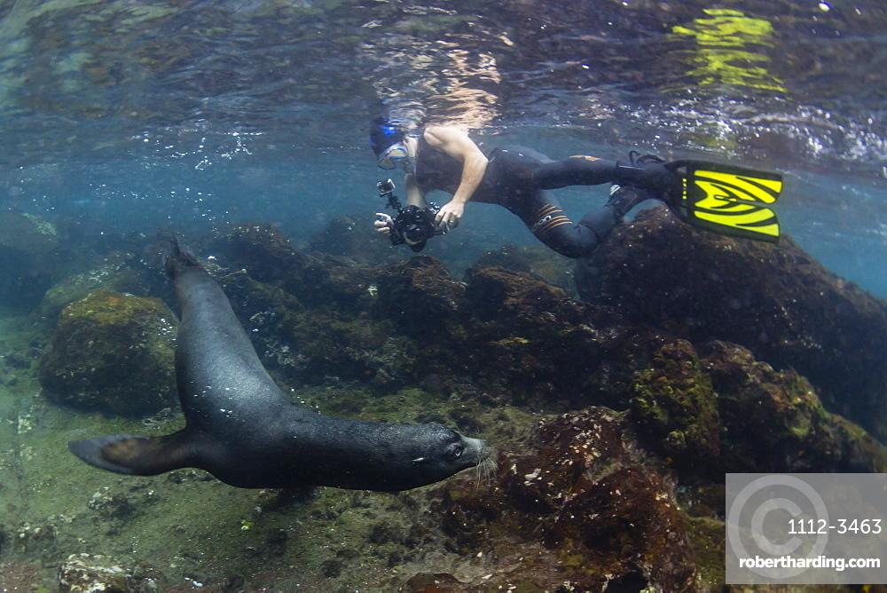 Bull Galapagos sea lion (Zalophus wollebaeki) with snorkeler underwater at Santiago Island, Galapagos, Ecuador, South America
