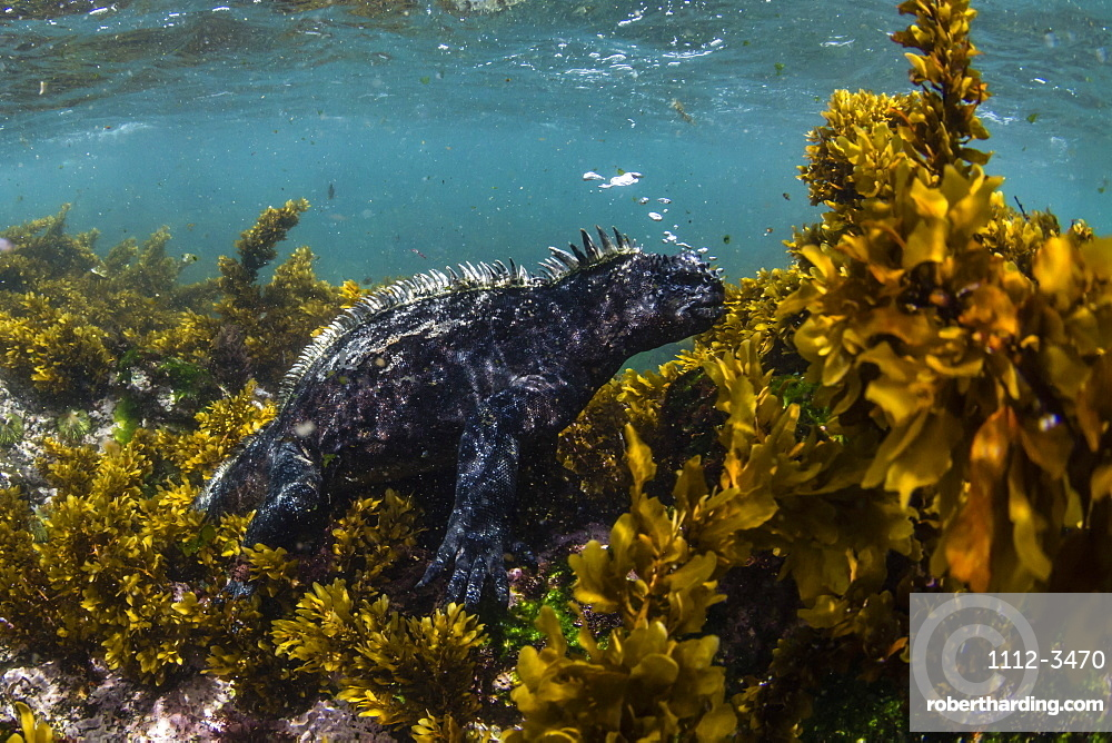The endemic Galapagos marine iguana (Amblyrhynchus cristatus), feeding underwater, Fernandina Island, Galapagos, UNESCO World Heritage Site, Ecuador, South America