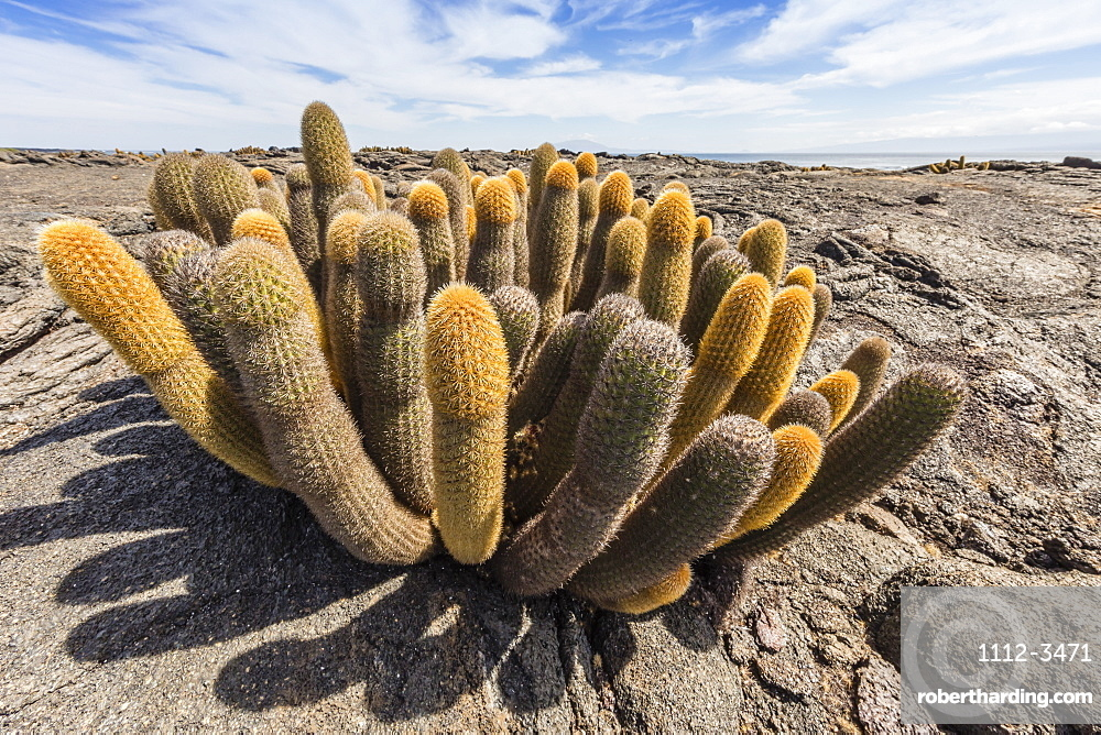 Endemic lava cactus (Brachycereus spp), Fernandina Island, Galapagos, UNESCO World Heritage Site, Ecuador, South America