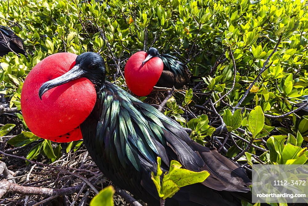 Adult male great frigatebirds (Fregata minor), courtship display. Genovesa Island, Galapagos, UNESCO World Heritage Site, Ecuador, South America