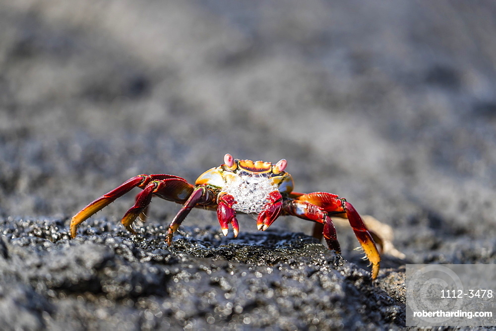 Adult Sally lightfoot crab (Grapsus grapsus) preparing to molt on Fernandina Island, Galapagos, UNESCO World Heritage Site, Ecuador, South America
