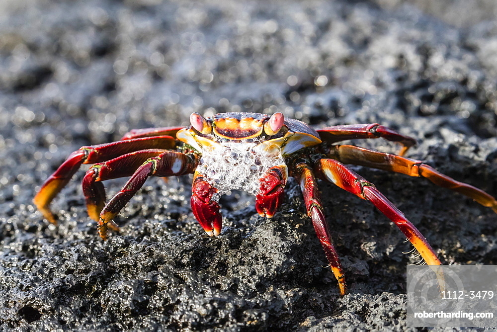 Adult Sally lightfoot crab (Grapsus grapsus), preparing to molt on Fernandina Island, Galapagos, UNESCO World Heritage Site, Ecuador, South America