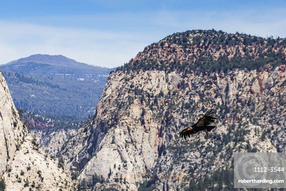An adult California condor in flight on Angel's Landing Trail in Zion National Park, Utah, United States of America, North America