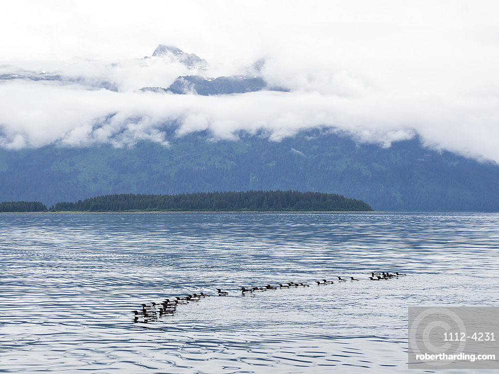A raft of common murres (Uria aalge) at breeding site on South Marble Island, Glacier Bay National Park, Alaska, United States of America, North America