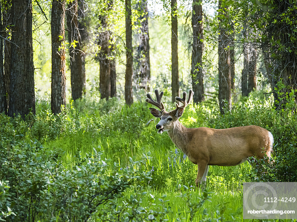 Young mule deer (Odocoileus hemionus) buck in velvet, Gros Ventre, Grand Teton National Park, Wyoming, United States of America, North America