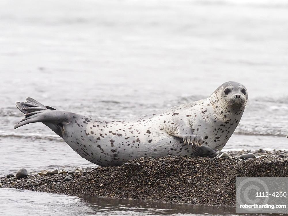Adult spotted seal (Phoca largha) hauled out on the beach near Meynypilgino, Chukotka, Russia, Eurasia