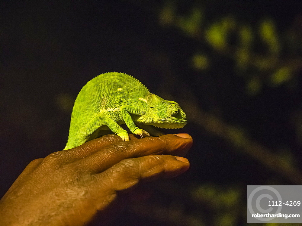 An adult flap-necked chameleon, Chamaeleo dilepis, South Luangwa National Park, Zambia