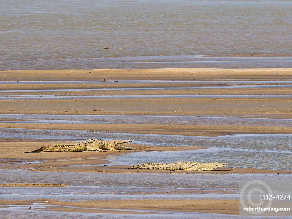 Adult Nile crocodiles, Crocodylus niloticus, basking in the sun in South Luangwa National Park, Zambia.