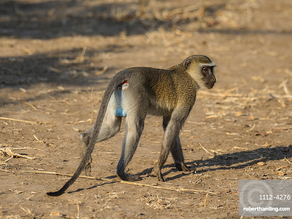 An adult male vervet monkey, Chlorocebus pygerythrus, in South Luangwa National Park, Zambia.