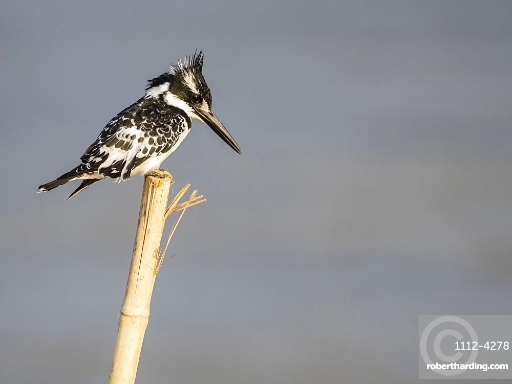 An adult pied kingfisher, Ceryle rudis, in South Luangwa National Park, Zambia.