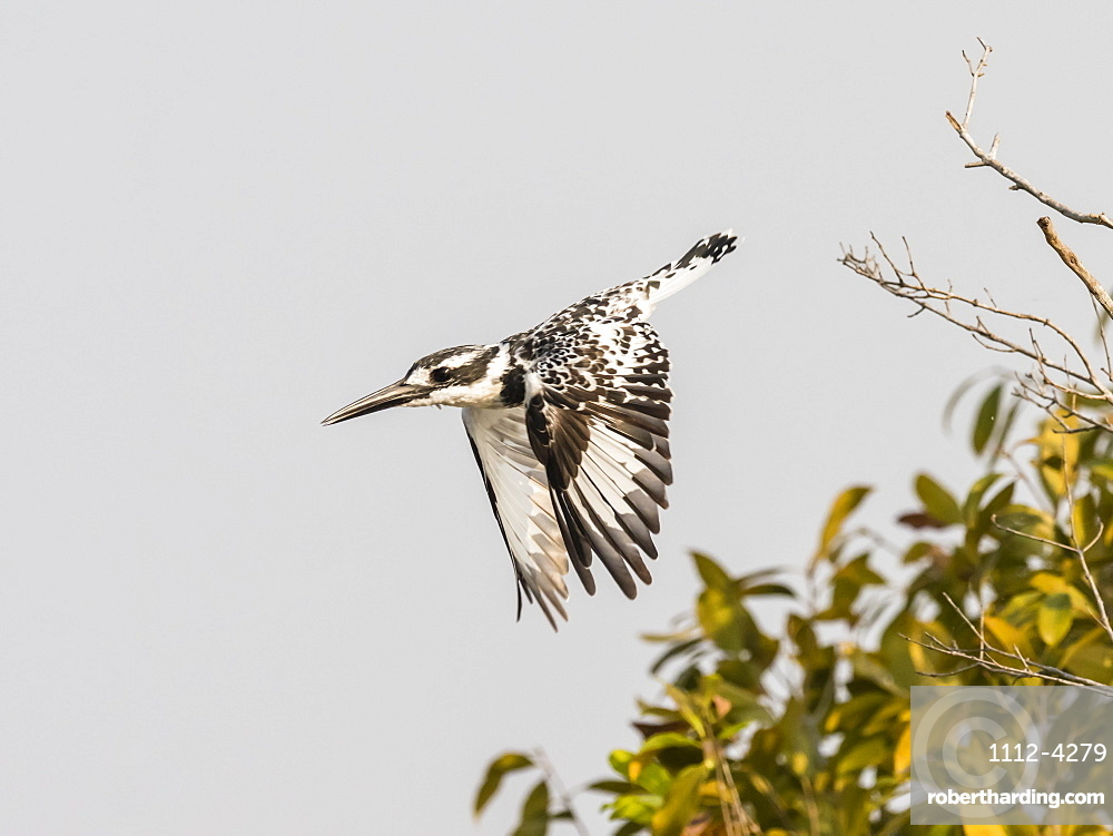 An adult pied kingfisher, Ceryle rudis, taking flight in South Luangwa National Park, Zambia.