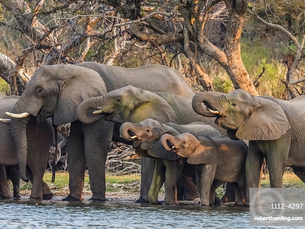 A herd of African bush elephants, Loxodonta africana, on the upper Zambezi River, Mosi-oa-Tunya National Park, Zambia.