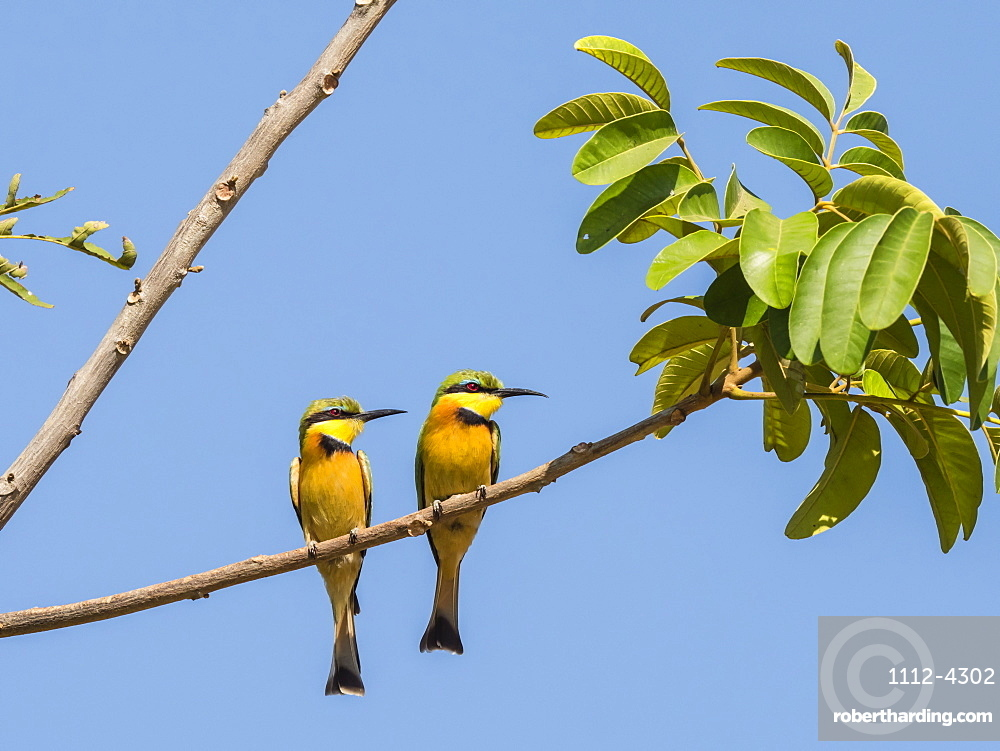 Adult little bee-eaters, Merops pusillus, near the Luangwa River in South Luangwa National Park, Zambia.