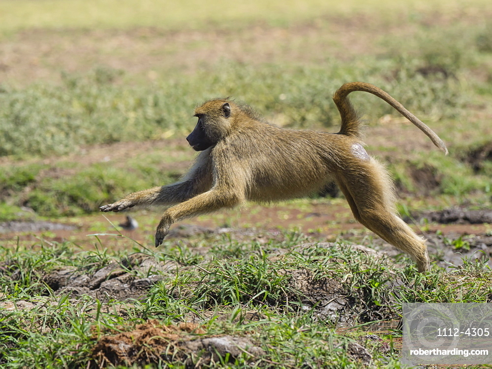 An adult yellow baboon, Papio cynocephalus, leaping in South Luangwa National Park, Zambia